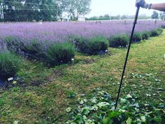 Big leafy up after storm.   It is the perfect weather for pick your own blueberries and lavender. 😉 Not too cold and not too hot.👍  www.lavenderbackyard.co.nz  #pyo #pickyourown #lavender #blue