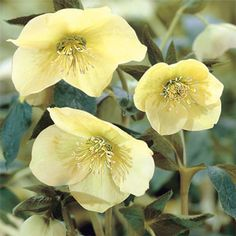 Helleborus Yellow Lady--Shade Plant--Spring