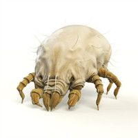 Dust Mite Allergies   from symptomfind.com