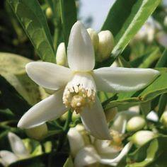 ¿Sabías que la flor del naranjo agrio (característico de Andalucía) se recolecta en el mes de mayo? De aquí se obtiene el agua de azahar que es muy usada en postres como por ejemplo el roscón de reyes.