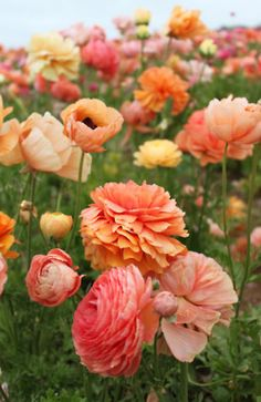 Spring wildflower field with peach ranunculus and poppies - two of our favorite flowers here at Bloompop HQ!