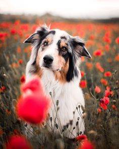 All Dogs, I Love Dogs, Cute Puppies, Cute Dogs, Country Girl Life, Foto Shoot, Jack Russell Terrier, Australian Shepherd, Collie