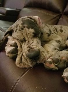 "Receive excellent pointers on ""great dane puppies"". They are actually available for you on our internet site. Big Dogs, I Love Dogs, Cute Dogs, Mundo Animal, My Animal, Beautiful Dogs, Animals Beautiful, Weimaraner, Doberman"