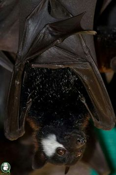 Bat with a beautiful white patch on it's face. Most likely caused from a previous wound.