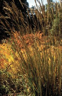 Natural privacy fencing on pinterest ornamental grasses for Best tall grasses for privacy
