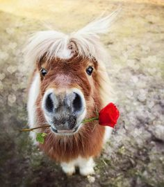 My Prince... adorable little horse with a rose in his mouth.