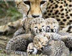 Cheetah, Endangered