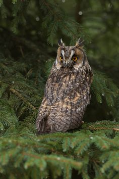 Long Eared Owl | Milan Zygmut    Source: 500px.com