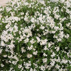 Yuki Snowflake Deutzia - white in spring, burgundy in fall, 12-24 inches tall and wide, full sun, partial shade
