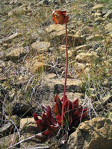 Sarracenia purpurea -purple pitcher plant