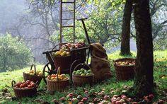 La cosecha de manzanas