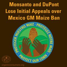 """Mexico continues to protect the ban on GMO corn! A Mexico court recently ruled in favor of the ban on planting transgenic corn recognizing """"the supremacy of the right of the collectivity of corn over the transnational seed companies.""""  #GMO #Mexico #Corn #Maiz #MonsantoMakesMeSick Monsanto Company DuPont"""