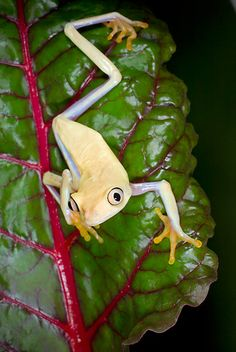 FRG 01 JZ0034 01 © Kimball Stock Albino Red-Eyed Tree Frog Sitting On Leaf Costa Rica