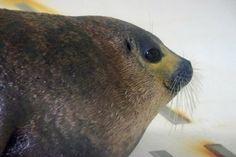 世界で二例目!ワモンアザラシの赤ちゃんに会ってきた|~udjatの間~ ほぼ水族館ブログ