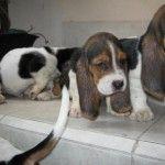 compra venta cachorros perros de raza Basset hound hembras y machos Visítenos ya en: http://www.SPACEANIMALS.com.mx Atención al cliente (01) (229) 2.60.31.86 / (01) (229) 2.98.48.78 Síguenos en: http://www.Facebook.com/Spaceanimals.Criadero  http://wwwTwitter.com/@Spaceanimals Criadero