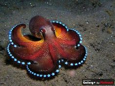 Coconut Octopus with glowing veins found in Western Pacific - photo by Mario Neumann
