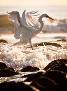 A Great White Egret in the surf at Rincon Point, Carpinteria, CA.