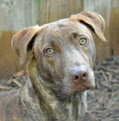Cameron is a 50lb male Hound mix. He is a very timid boy who will need a nurturing person to bring him out of his shell. No children please.