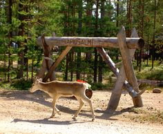 We sometimes get visitors from the woods! Finland, Wilderness, Kangaroo, Woods, Animals, Animales, Animaux, Kangaroos, Forests