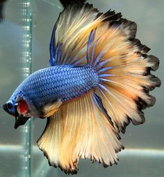 AquaBid.com - ***Blue-Dragon-Mustard-Feather***HM-Male***