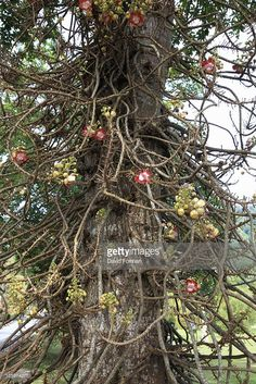 Stock Photo : Botanical Gardens, ' Cannonball' Tree (Couroupita guianensis) from Guiana, Penang, Malaysia Grapevine Wreath, Botanical Gardens, Wreaths, Stock Photos, Landscape, Christmas Ornaments, Holiday Decor, Plants, Photography