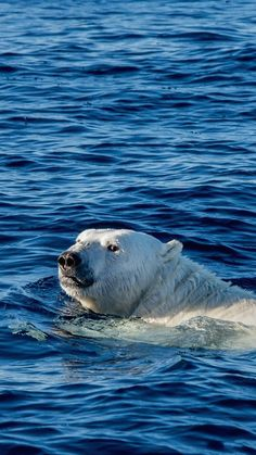 Watch Me Swim Polar Bear Sea Animal
