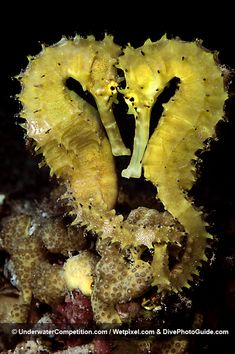 Seahorse couple by Noam Kortler