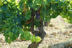 A pesar de la gran cantidad de agua que llevamos este año, las viñas presentan un estado sanitario magnífico