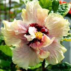 Exotic Hibiscus 'Rapture'