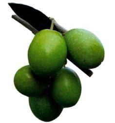 Extravergine di oliva Tergeste DOP