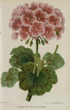 SNHF   Pelargonium Gloire de Corbeny