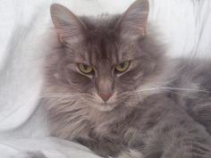 Max!  <<< looks so much like my old cat Tesla.   Even down to that kitty glare... lol  Miss her so much...  <3~R~<3