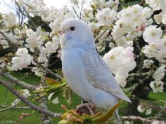 Budgie with blossoms by kiwipics.deviantart.com on @DeviantArt