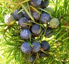 Spontanoues plant Kleka (Juniperus communis) Juniper - Croatia