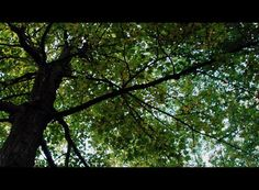 Tree+-+leaf+canopy