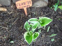 Hosta 'Francee'/spring/......foto amateur Barbara Zadros
