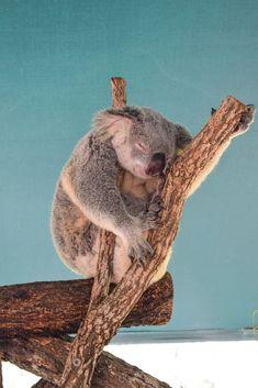 EPIC Cairns To Brisbane (Or Viceversa) Road Trip! A koala in Australia Zoo, Steve Irwin's Wildlife Reserve Australia Travel Destinations Australia Honeymoon, Coast Australia, Visit Australia, Australia Travel, Australia Beach, Cairns, Travel Photography Tumblr, Photography Beach, Brisbane
