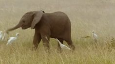 Baby Elephant Plays For The Birds