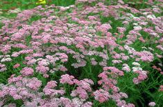 Achillea millefolium 'Kelwayi' AGM    Pale Pink and Dark Pink in Autumn and Summer  An open sunny position in a moist but well-drained soil is best, but it will tolerate most situations apart from heavy, wet clay in winter