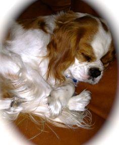 Sleeping Freddy Cavalier King Charles Spaniel