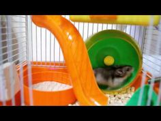 Wery Active Hamster- Tiny Hamster World - YouTube