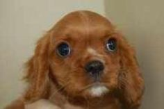 alan is an adoptable Cavalier King Charles Spaniel Dog in Salt Lake City, UT. LIKE us on FACEBOOK and find more info......This little guy is a puppy mill refuge. He is 12 weeks old and ready for his f...