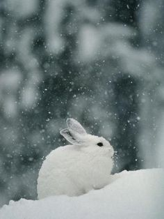 Photographic Print: Snow Falls on a Snowshoe Hare in its Winter Coat by Michael S. Winter Wonderland Wallpaper, Snowshoe Hare, Snow Gif, Snow Photography, Australian Shepherd Dogs, Winter Scenery, Snow Bunnies, Pembroke Welsh Corgi, Working Dogs