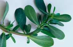 Edible weeds - purslane.  This grows in my veggie garden.  To me it's a weed.  But now I will have to try eating it!
