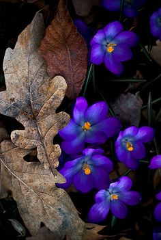 Crocus, many are cultivated for their flowers appearing in autumn, winter, or spring.