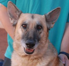 Sweet Pea is a very loving girl with regal good looks and she is debuting today for adoption at Nevada SPCA (www.nevadaspca.org).  She is a German Shepherd, 5 years of age and spayed.  We rescued Sweet Pea from another shelter that ceased its adoption program.  She adores people and enjoys large dogs, but she cannot be around birds, cats, or other small animals.  Please visit and ask for Sweet Pea by name.