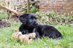 Labrador puppy Boris 12 week oud