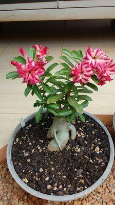 Bonsai Plants, Bonsai Garden, Potted Plants, Plant Pots, Desert Rose, Gardens, Landscaping, Succulents, Plants