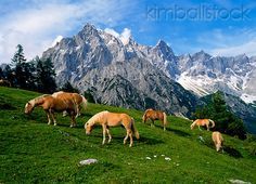 Herd Of Haflinger Horses Grazing By Mountains