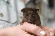 Baby Ringtail Possum - So different than the possums near me!
